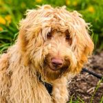 bluefields-labradoodles-puppies