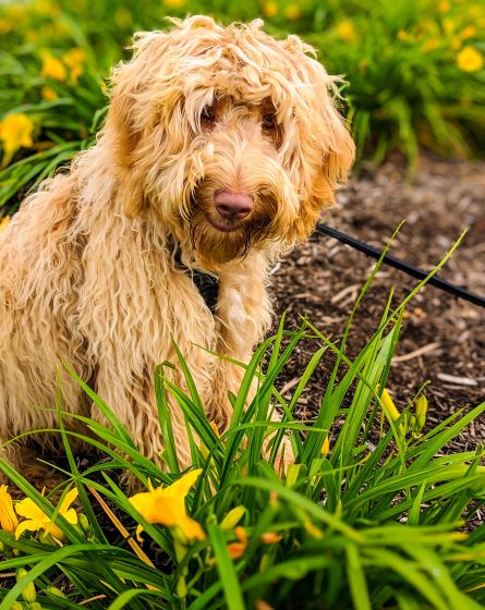 Butter-labradoodle-puppies-flowers