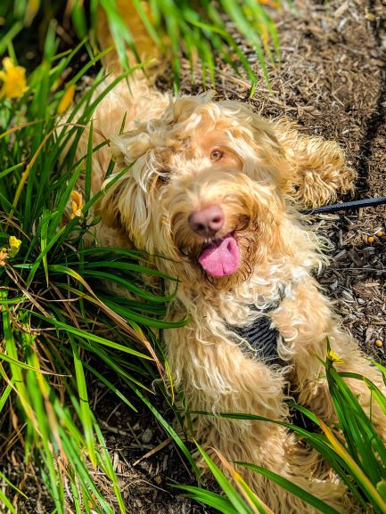 labradoodle-puppies-available-bluefields-labradoodles