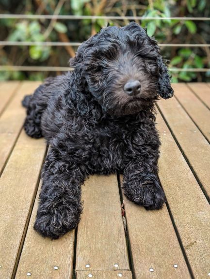 Friesia-Labradoodle-puppies-bluefields