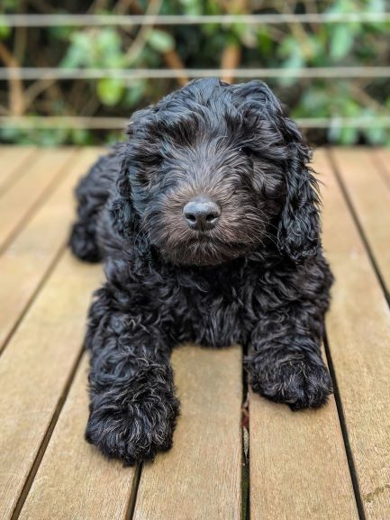 Friesia-Labradoodle-puppies