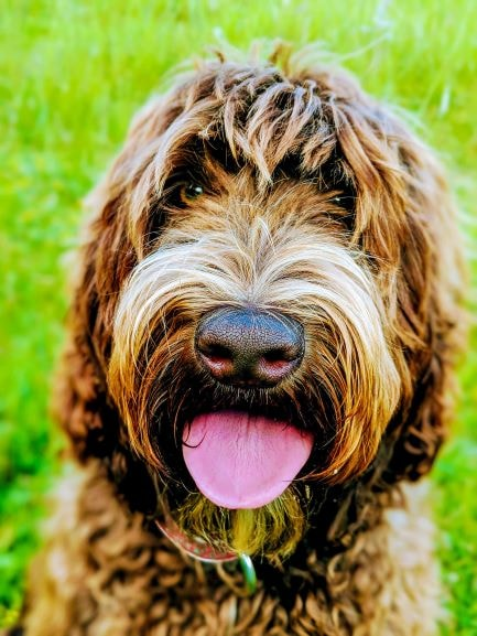 labradoodle-puppy-training-bluefields-labradoodles