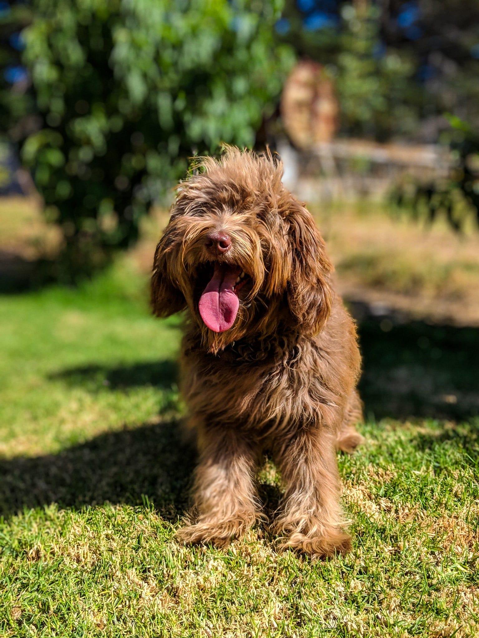 billie-labradoodle-puppy4