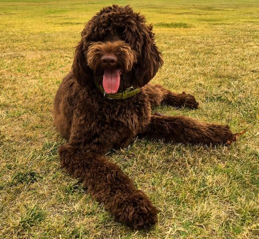 labradoodle-breeding-bluefields-guardian-program