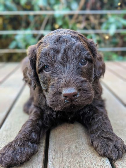 labradoodle-puppies-feeding-bluefields