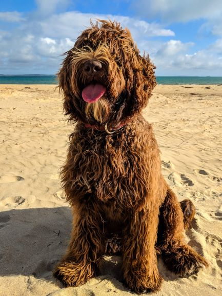 labradoodle-care-bluefields-labradoodles